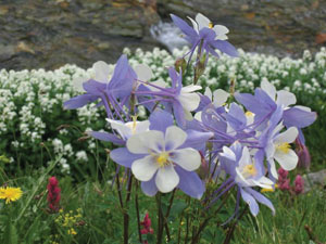 Columbine-unknown-photographer